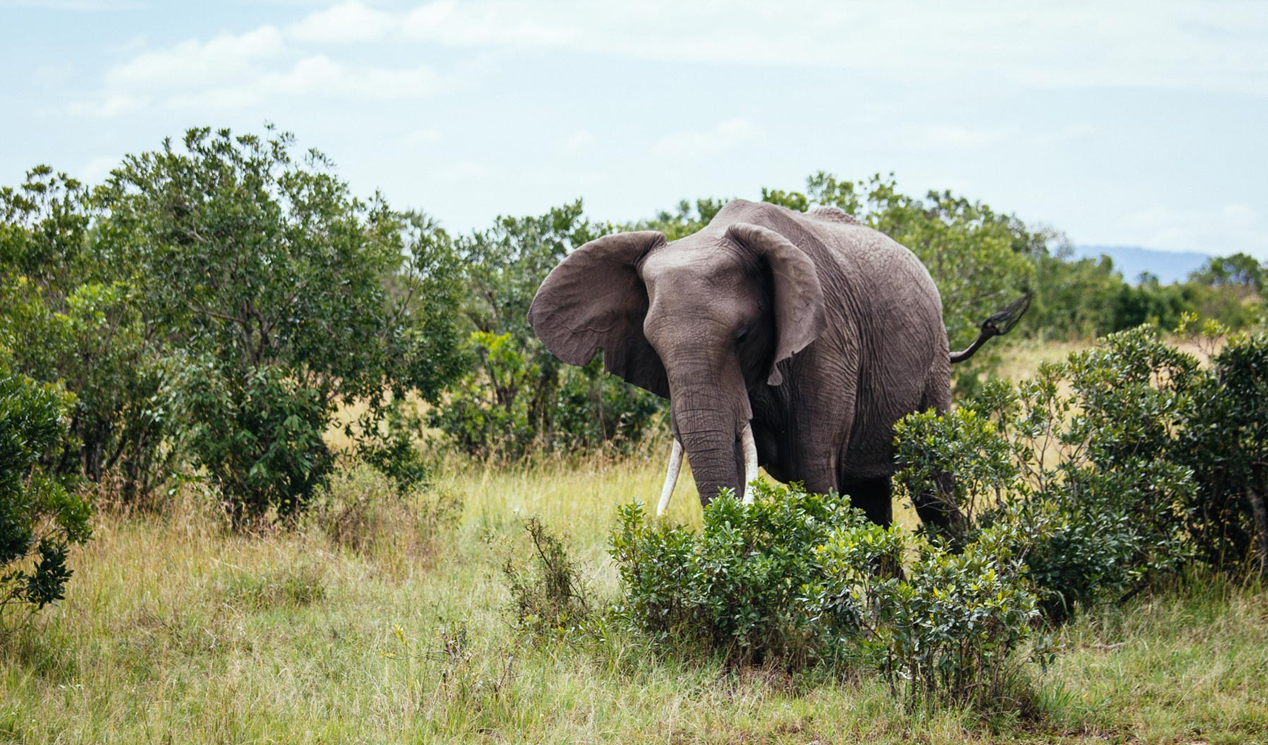 An elephant walking through bushes and trees