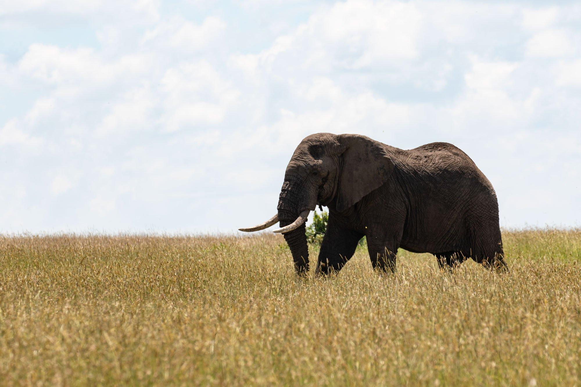 Elephant at Bushtops Camps